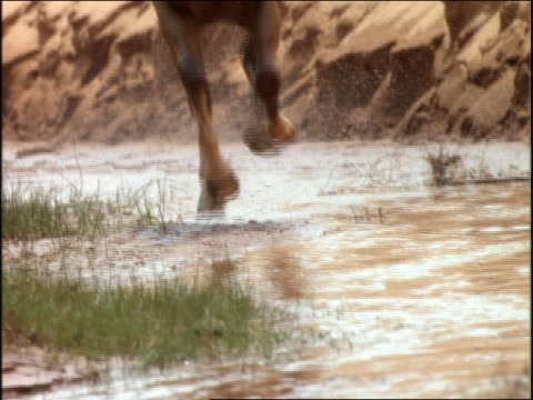 slow motion close up tilt up of horses running thru stream toward camera - 草食性点の映像素材/bロール