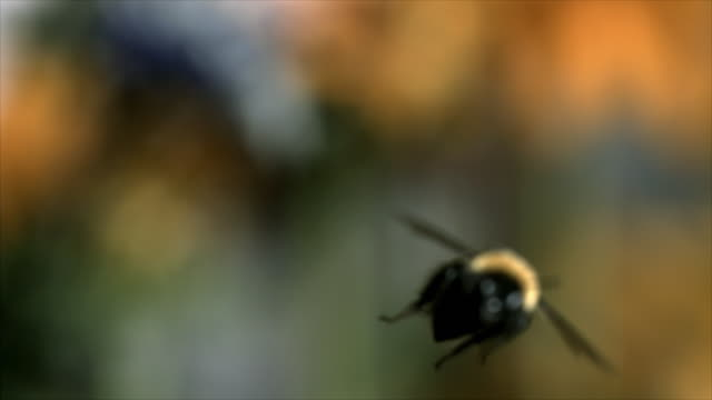 slow motion close ups of a bumblebee flying - bumblebee stock videos & royalty-free footage