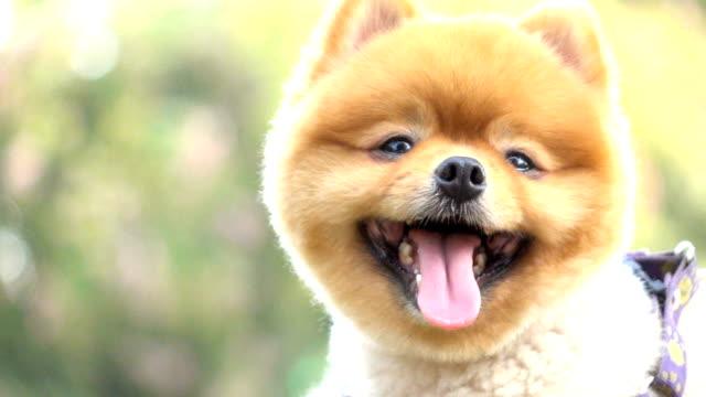 slow motion, close-up face smiling pomeranian dog