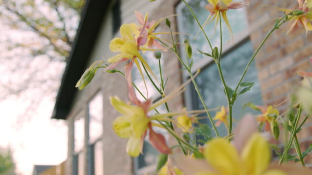 slow motion close-up low angle handheld shot of beautiful pink and yellow columbine flowers in front of a brick home a manicured home garden in colorado - perennial stock videos & royalty-free footage
