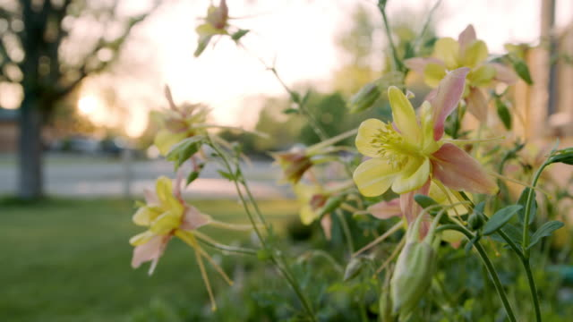 slow motion close-up low angle handheld shot of beautiful pink and yellow columbine flowers in a manicured home garden in colorado - perennial stock videos & royalty-free footage