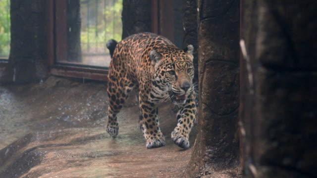 vídeos y material grabado en eventos de stock de slow motion: close-up of beautiful jaguar walking around in cage in rain - felino grande