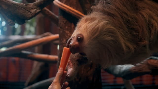 Slow Motion: Close-up of Feeding a Sloth