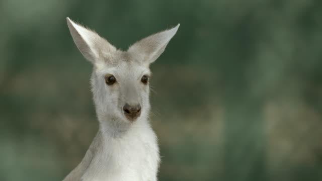 slow motion close-up of gray kangaroo - カンガルー点の映像素材/bロール