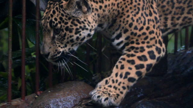 slow motion: close-up of jaguar pacing in cage and looking through bars - bedrohte tierart stock-videos und b-roll-filmmaterial
