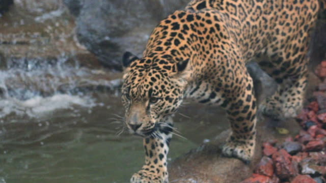 slow motion: close-up of jaguar walking next to waterfall - zoo stock videos & royalty-free footage