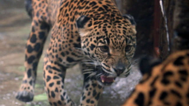 slow motion: close-up of majestic jaguar roaring at another jaguar - zoo stock videos & royalty-free footage