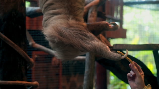 slow motion: close-up of sloth hanging on branch trying to reach food - laziness stock videos & royalty-free footage