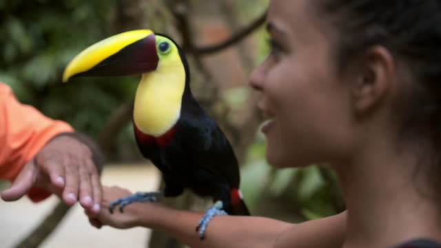 slow motion: close-up of toucan jumping from young woman's arm to zookeeper's - zoo stock videos & royalty-free footage