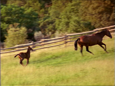 slow motion PAN colt + mother running in fenced-in grassy field