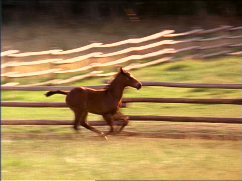 slow motion PAN colt running to join running mother in fenced-in grassy field