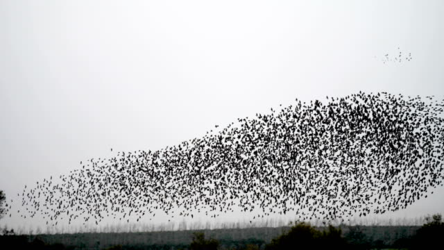 Slow Motion, Common starlings in murmuration flight, and then going down to roost in reed bed