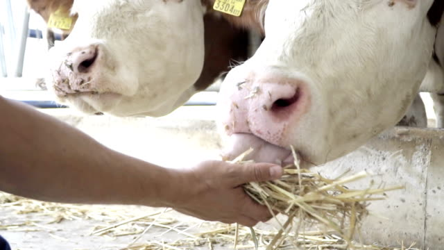 slow motion: cow eating straw - cattle stock videos & royalty-free footage