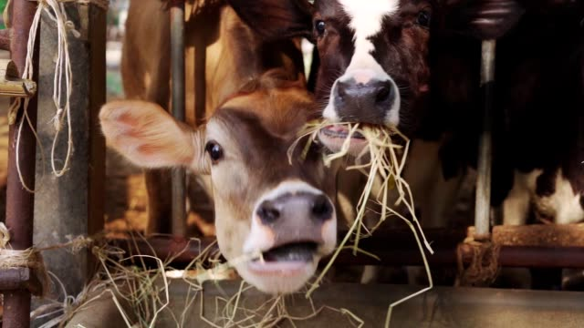 slow motion cows on the farm eat grass - fence stock videos & royalty-free footage