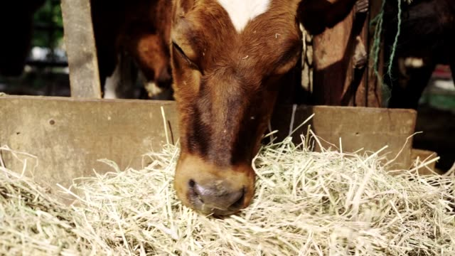slow motion cows on the farm eat grass - stable stock videos & royalty-free footage