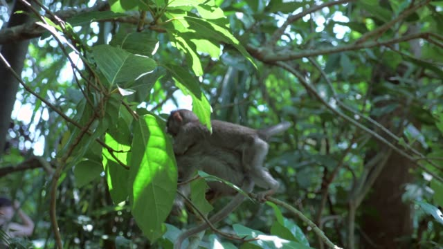 Slow Motion: Cute Baby Monkeys Climbing on Branches
