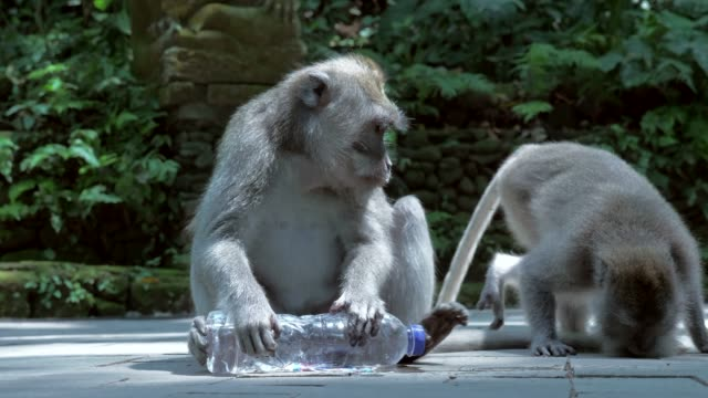 Slow Motion: Cute Monkey Drinking From Side of Plastic Bottle