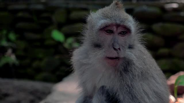 vídeos de stock, filmes e b-roll de slow motion: cute monkey sitting on rock and eating - macaco
