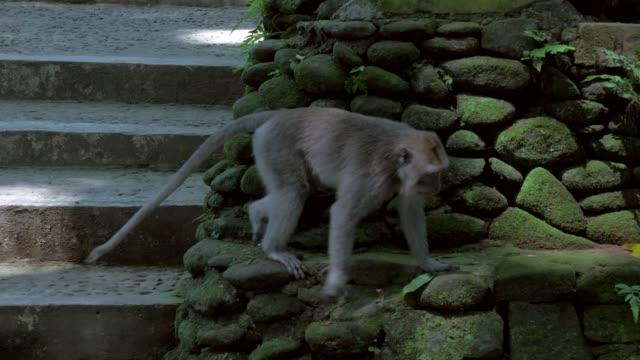slow motion: cute monkey walking down steps then climbing on rocks - ape stock videos & royalty-free footage