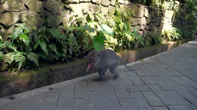 Slow Motion: Cute Monkey Walking on Pavement in front of Stone Wall