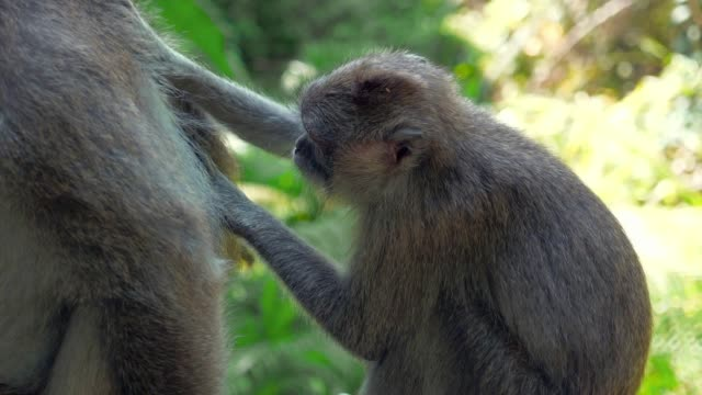 slow motion: cute monkeys grooming each other in the jungle - altri temi video stock e b–roll