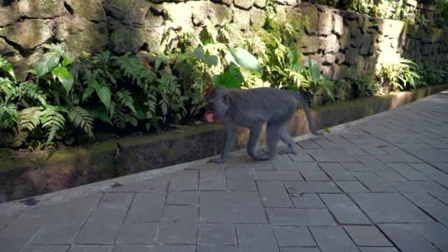 Slow Motion: Cute Monkeys Walking on Pavement in front of Stone Wall