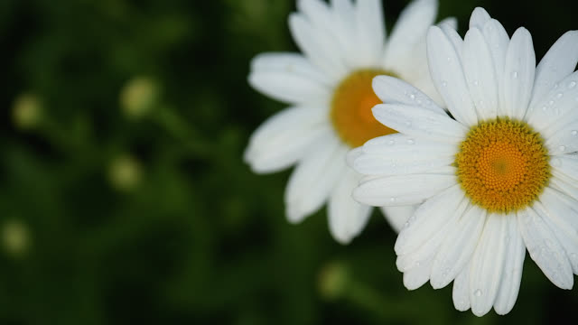 vídeos de stock e filmes b-roll de slow motion daisies - gota a cair na água