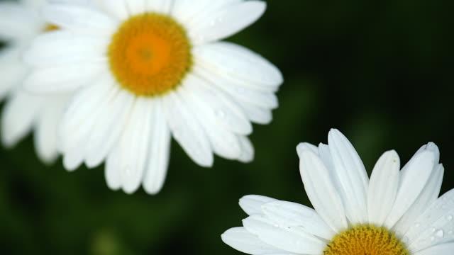 slow motion daisies - デイジー点の映像素材/bロール