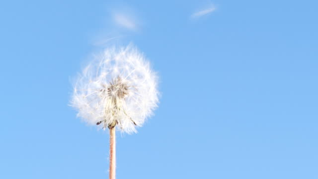 slow motion dandelion flower seeds blowing away by wind - dandelion stock videos & royalty-free footage