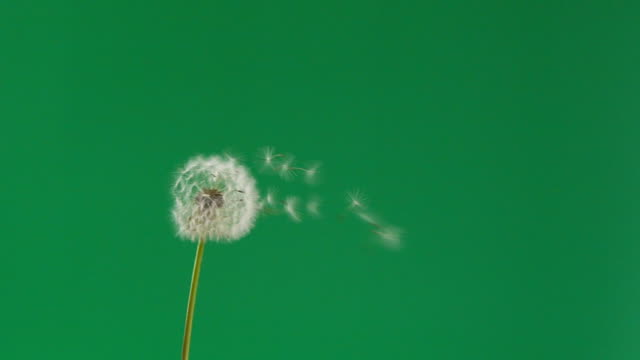 slow motion dandelion flower seeds blowing away by wind - pollen stock videos & royalty-free footage