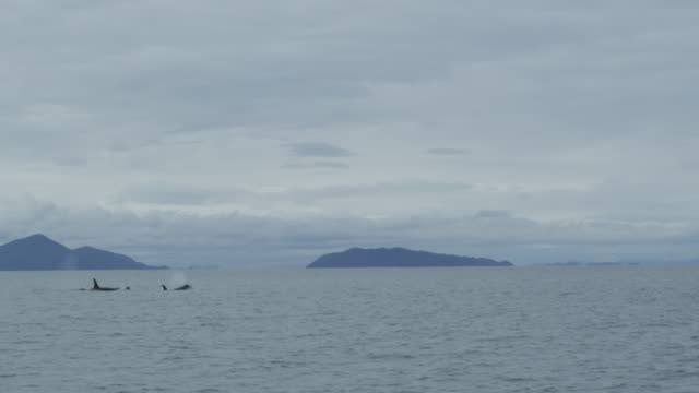 slow motion distant pod of orcas surfacing, alaska, 2011 - killer whale stock videos & royalty-free footage
