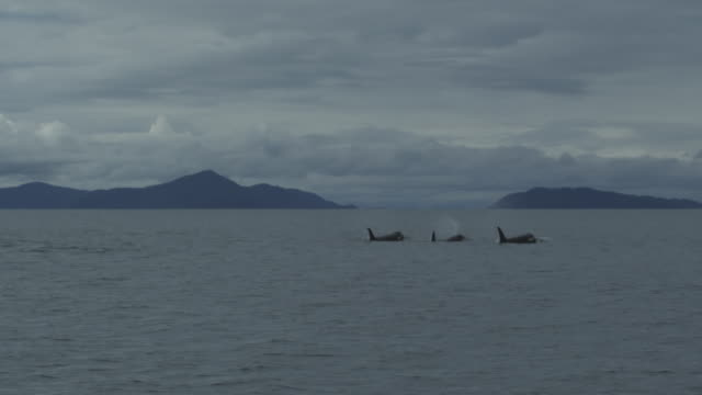 vídeos de stock, filmes e b-roll de slow motion distant pod of orcas surfacing, alaska, 2011 - bando de mamíferos marinhos