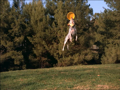 slow motion dog jumping + catching a plastic disc in park - stunt stock videos & royalty-free footage