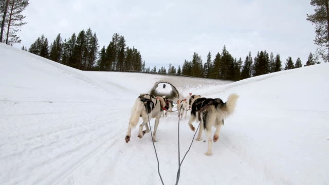 Slow motion: Dog musher point of view control Dog sledding at dusk in Finland