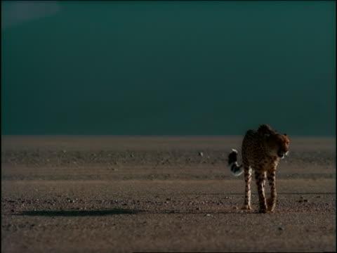 slow motion dolly shot cheetah walking toward camera in desert / Black male athlete running past in background / Africa