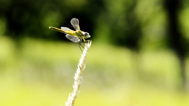 slow motion: dragonfly on ear of wheat - ear of wheat stock videos and b-roll footage