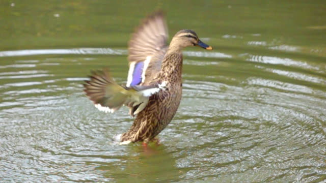 slow motion duck flying - animal wing stock videos & royalty-free footage