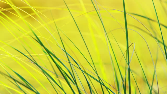 slow motion due grass at sunset - marram grass stock videos & royalty-free footage