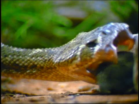 slow motion extreme close up diamondback rattlesnake biting mouse + letting go