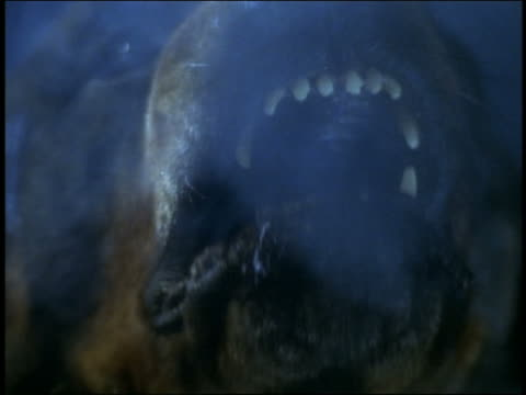 slow motion extreme close up mouth of rottweiler barking at camera at night / steam coming from mouth