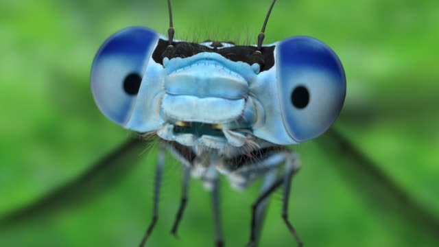 Slow motion extreme close-up van een vooraanzicht van blue damsel