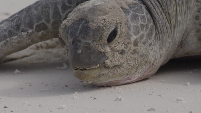 Slow motion extreme close up of Sea Turtle moving past camera