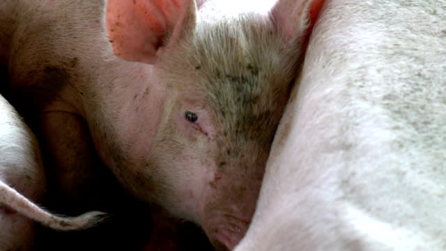 slow motion eye pig sleeping in farm - pig stock videos and b-roll footage