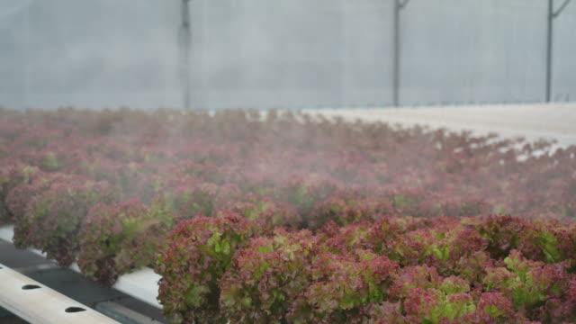 4kスローモーション農家は水滴を噴霧しています。幼稚園の野菜植え場でのサラダ野菜プロット用 - 園芸学点の映像素材/bロール