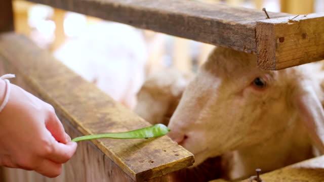 Slow Motion : Feeding Sheeps