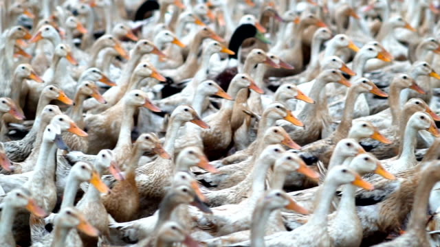 slow motion fhd footage of huge flock of ducks walking and moving in farm, behaviour and domestic animal concept - oca uccello d'acqua dolce video stock e b–roll