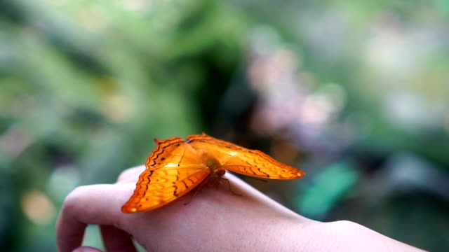 Slow motion FHD footage of orange butterfly flapping wings on woman's back hand in the forest, Animal behaviour and Natural concept