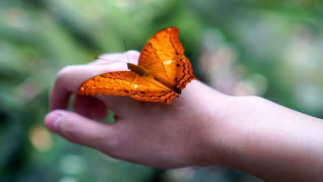 slow motion fhd footage of orange butterfly flapping wings on woman's back hand in the forest, animal behaviour and natural concept - animal behaviour stock videos & royalty-free footage