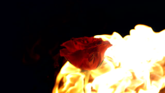 slow motion flame on rose - rose stock videos and b-roll footage