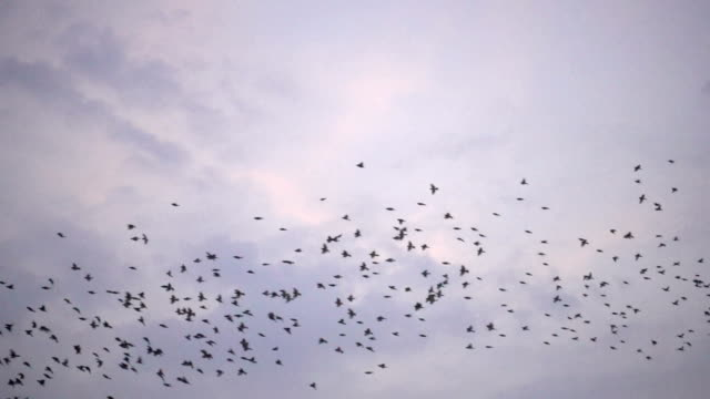 slow motion - flock of birds flying at dusk - songbird stock videos & royalty-free footage